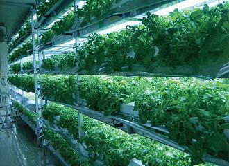 ツブリナの栽培